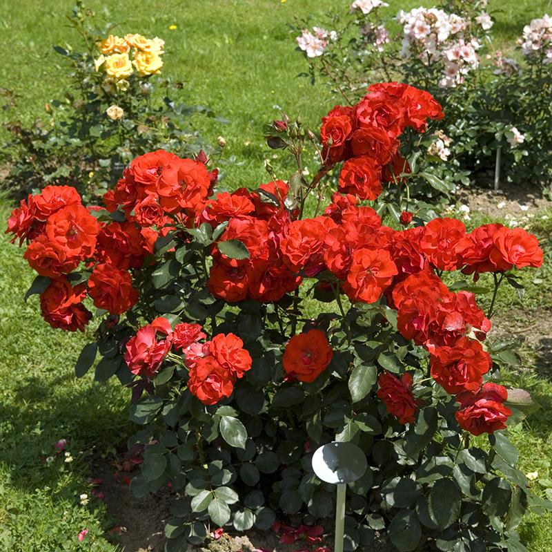 der garten im fr hjahr jetzt ist es zeit ihre rosen zu. Black Bedroom Furniture Sets. Home Design Ideas