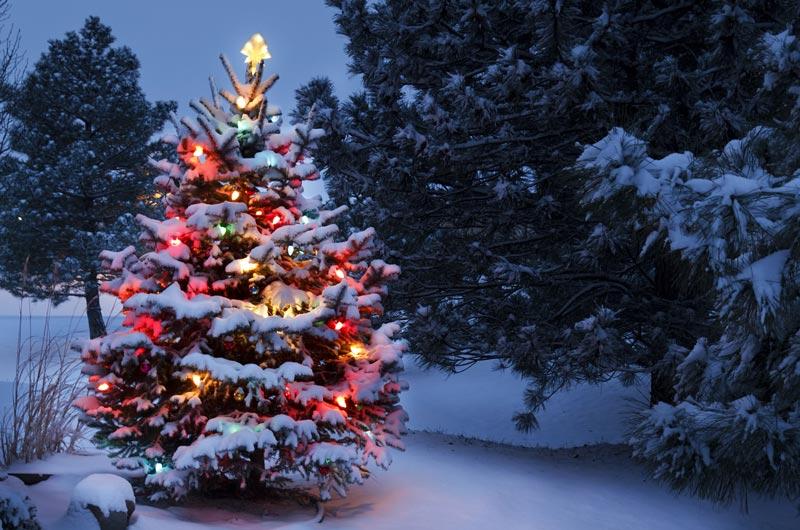 Der Weihnachtsbaum.Wieso Ist Der Weihnachtsbaum Eine Tanne Oder Fichte